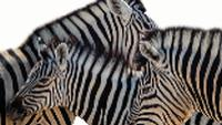 Zebra in Etosha National Park |  <i>Peter Walton</i>