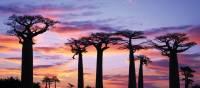 Stunning sunset behind baobab trees | Gesine Cheung