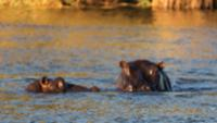 Hippos in the Okavango River |  <i>Peter Walton</i>