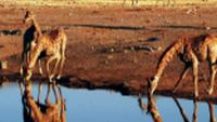 A herd of giraffe drinking from a water hole in Etosha National Park |  <i>Sue Badyari</i>