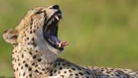 A relaxed cheetah in Kruger National Park