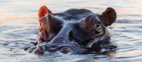 Inquisitive hippopotamus | Peter Walton