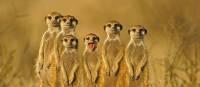 Meerkats of the Kalahari Desert in southern Africa