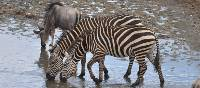 Young zebras quench their thirst in the Serengeti, Tanzania | Peter Brooke
