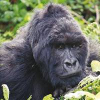 Up close and personal with a Silverback Gorilla in Bwindi National Park   Tina van Pelt