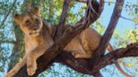 Tree climbing lion relaxing in Zimbabwe |  <i>Peter Walton</i>