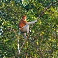 Probiscus Monkey, Borneo | Davin Field