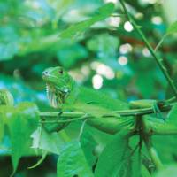 Green iguana blends into the Manuel Antonio national park, Costa Rica   Sophie Panton