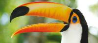 The distinctive Toucan can be found in rainforests in Central and South America