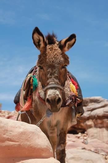 A donkey at Petra&#160;-&#160;<i>Photo:&#160;Rachel Imber</i>
