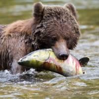 Grizzly Bear enjoying a juicy salmon   Tom Rivest
