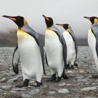 King penguins on South Georgia   Peter Walton