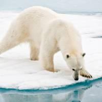 A polar bear at close range in the Arctic   Sue Josephsen