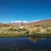 Alpaca in the Bolivian altiplano